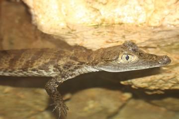 Crocodiles en aquarium à l'aquarium du Bugue en Dordogne