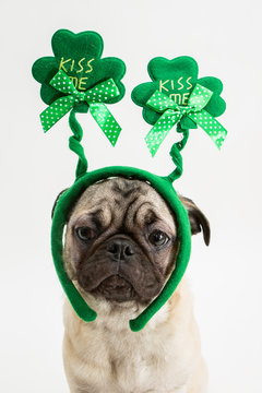 Cute pug puppy wearing a green shamrock kiss me hat