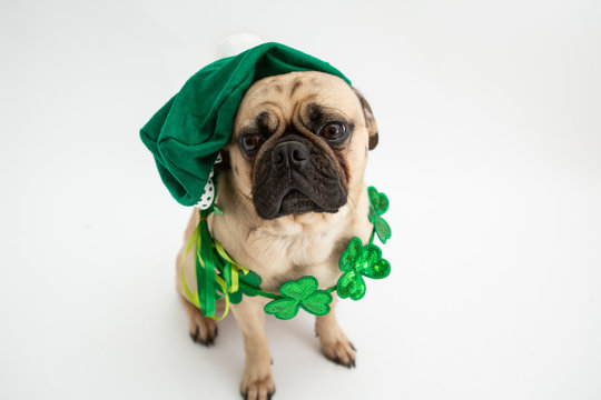 Cute pug dog wearing a green hat and shamrock necklace for St Patricks Day