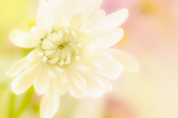 A beautiful white flower on a yellow blurred background.