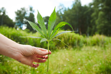 Hands of young person rising marihuana leaves, freedom concept