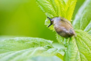 Close-up of a snail sitting on a green leaf in drops of morning dew on a blurred background
