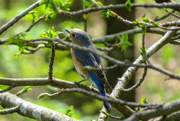 blue bird on a branch