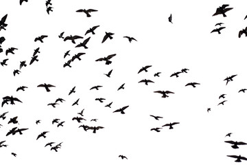 Silhouette flock of Pigeons flying over sky background.