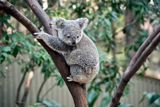 a joey koala climbing a tree