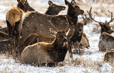 Elk in Rocky Mountain National Park Colorado