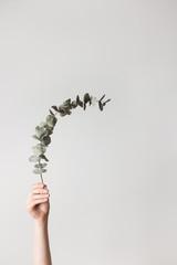 Hand holding an eucalyptus branch