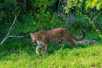 Wild leopard. Yala National Park. Sri Lanka.