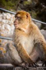 One of the famous monkeys of Gibraltar. Several macaques living in the Rock Natural Reserve in Gibraltar, United Kingdom.