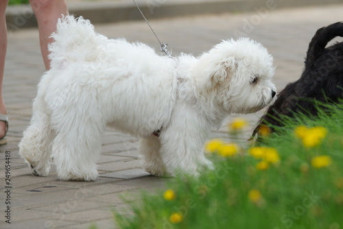 Bichon Frise dog with a stylish haircut staying outdoors