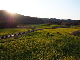 小湊鉄道にて夕日と菜の花畑