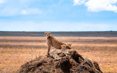 Group of cheetahs in the Serengeti National Park. Africa. Tanzania.