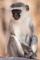 Vervet monkey (Chlorocebus pygerythrus) in Kruger National Park, South Africa