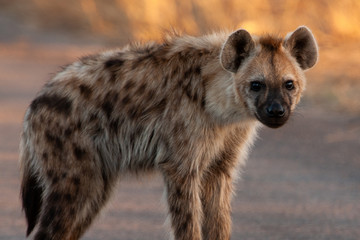 Photo sur Plexiglas Hyène Spotted Hyena in the Kruger National Park, South Africa