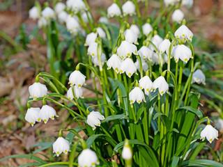 Blühende Märzenbecher, Leucojum vernum