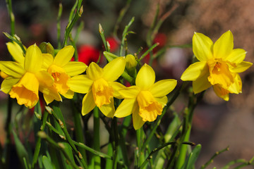Close-up of yellow narcissus flowers on the spring meadow