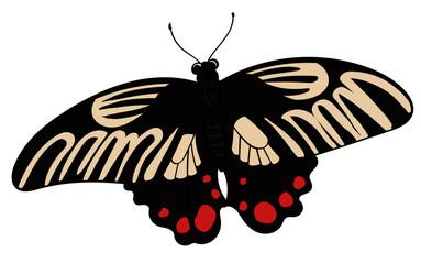 Papilio Rumanzoviz