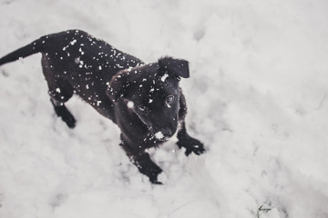 Small black dog is playing on the snow