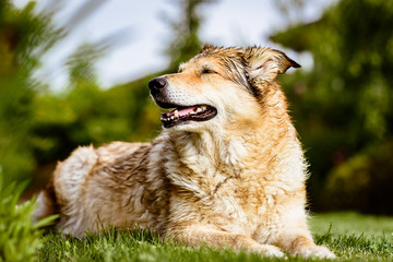 Old but happy crossbreed dog