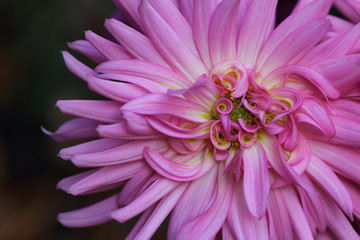Portrait of pastel pink-yellow dahlia flower