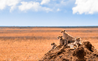 a family of cheetahs looking for pray