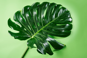 Big green tropical leaf of monstera plant on green.