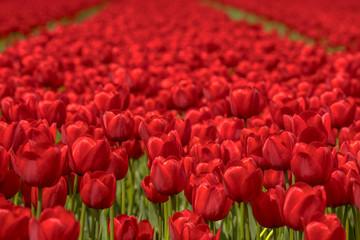 In de dag Rood traf. Tulip field scene