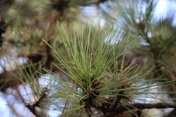 Nature background.  Creative layout of the green needles of a pine, pine wood, suitable Loja presentations on the theme of ecology.