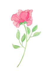 Watercolor  rose and leaves. Paint flowers for greeting card. Hand drawn plants