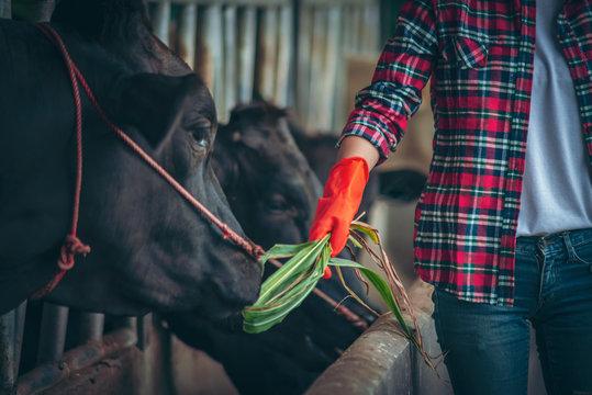 Farmer girl Asian farmer smiles to feed the cow on the farm.