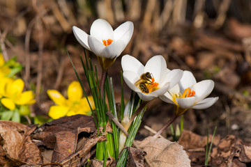 Krokus - Biene - Frühling