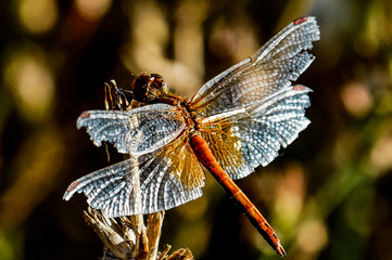 nature, autumn, forest, meadow, stalk, insect, dragonfly, large, transparent, wings, red, abdomen