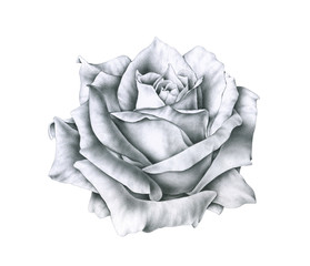 Black and white illustration rose flowers isolated on white background. Handwork monochrome drawing pencil