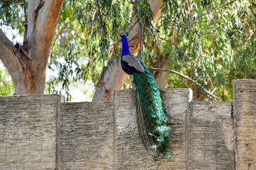 Peacock with tail. Peacock on the fence on a bright sunny day.