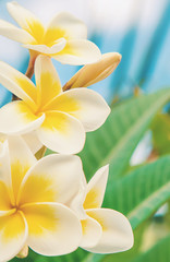 Tuinposter Frangipani Plumeria flowers blooming against the sky. Selective focus.