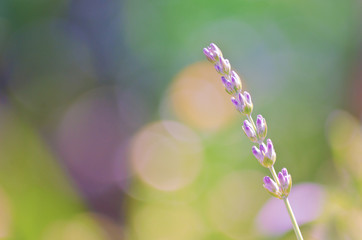 Extreme closeup of lavender in the garden, selective focus with purple buds in the foreground and pastel colored background with bokeh, copy space