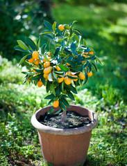 kumquat plant in a pot