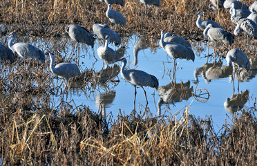 Sandhill cranes in evening sunlight in Whitewater Draw, Southern Arizona