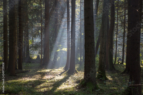 Fototapete Sunbeam entering rich deciduous forest