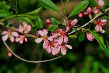 Branch of prunus serrulata japanese cherry in the spring garden