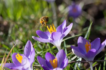 Abeille butinant des fleurs de crocus à la fin de l'hiver