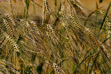 View of golden wheat field in the countryside scenery