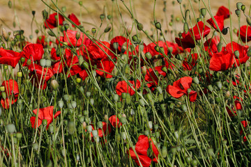 View of wild autumn field with papaver flowers