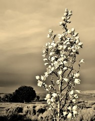 Sepia of a Beautiful Yucca Elata Flower in a Sand Dune with Shrubs and a Cloudy Sky in Sand Hollow State Park, Utah, USA