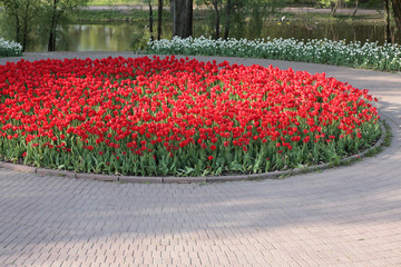Red Tulip at Spring