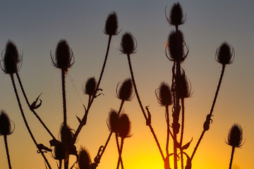 View of teasel (dipsacus fullonum) plant silhouette against sunset