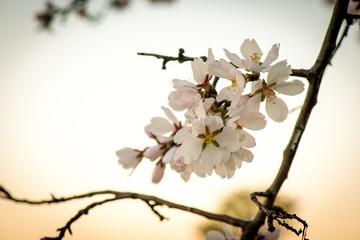 Flores de almendro en primavera con la luz del atardecer calidad bonita