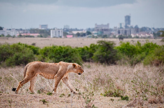 Female lion walking in Savannah field in Nairobi national park in middle of city. The city as a background. Grassland, Kenya.