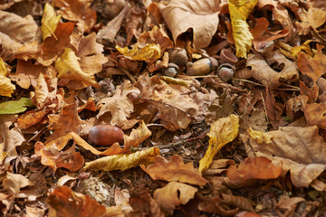 autumn yellow dry leaves with acorns
