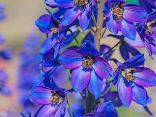 Blauer Rittersporn, Delphinium